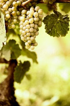 Bunch of ripe riesling grapes, selective focus