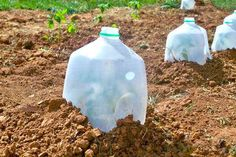 Composting Hacks Protect young plants from frost with milk jugs. - Get your dream garden or backyard the easy way with these gardening tricks. Horticulture, Organic Gardening, Gardening Tips, Vegetable Gardening, Gardening Services, Potager Bio, Growing Tomatoes, Potting Soil, Diy Garden Decor