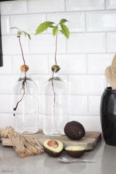 Plant Avocado: Step-by-step instructions - from core to avocado plant pflanzen Aquaponics – Jetzt können Sie ganz einfach Ihr eigenes Gemüse anbauen Indoor Garden, Garden Plants, Indoor Plants, Decoration Plante, Plants Are Friends, Interior Plants, Plantation, Green Life, Aquaponics
