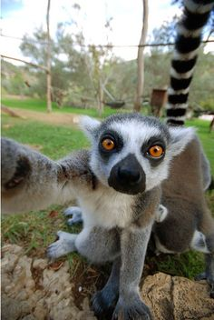 Reason that I could be convinced into doing primatology and focusing on lemurs: they take selfies. I take selfies too, with my lemur friends! You can't ever go wrong with lemur selfies, now can you! Nature Animals, Animals And Pets, Baby Animals, Funny Animals, Cute Animals, Wild Creatures, Cute Creatures, Beautiful Creatures, Animals Beautiful