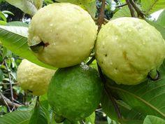 Guava Tree - (Guayaba in Spanish) Guava Plant, Guava Fruit, Guava Juice, Red Guava, Fruit Plants, Fruit Garden, Fruit Trees, Fruit And Veg, Fruits And Vegetables