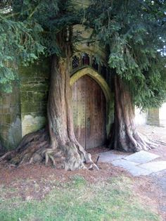 These trees are rumored to be the inspiration for JRR Tolkiens trees at the Gates of Moria. They are located at Saint Edwards Church, Stow-on-the-Wold, England.
