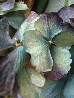 ❈ Fleurs Foncées ❈ dark art photography flowers & botanical prints - hydrangea close-up