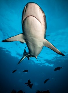 Under the shark Grey Reef Shark photographed in Kimbe Bay in the island of New…