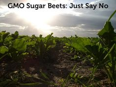 """Do you know what type of sugar you're eating? Much of the sugar in the US food supply now comes from sugar beets that have been genetically modified to resist glyphosate, more commonly known as Round Up from our """"friends"""" at Monsanto.  How do you know if the sugar in that food product is from GMO sugar beets? If the ingredient list simply says, """"sugar,"""" it's a good bet that the sugar is made from GMO sugar beets."""
