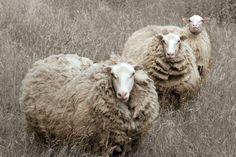 Sheep Shooting by Namira McLeod on 500px