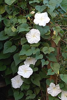 "Moonflower (Ipomea alba): Fragrant and enormous white blooms (6"" long & wide) open in the evening & close before mid-day. A wonderful vine to plant near an outdoor patio or near one's bedroom window."