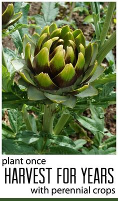 Personal: Artichokes are my very favorite vegetable! It turns out they are perennial crops, meaning they are alive year round and are harvest multiple times before dying. If you keep an artichoke plant around, you will always have a healthy snack.
