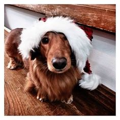 This festive pup.   Community Post: 20 Adorable Dachshunds Who Are Totally Ready For Christmas