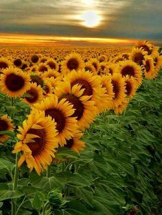 a field of sunshine
