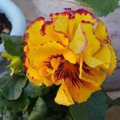 とっても豪華な花びら。 #パンジー #八重咲きパンジーファビュラス #ガーデニング #私の庭 #garden #gardening #mygarden #my_daily_flower #flowers #flowergarden #flowers #flowerstagram