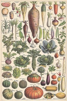 Vegetables, Plate from the Larousse Universel in two volumes, 1922.  Légumes et plantes potagères 1 by Ωméga * on Flickr.