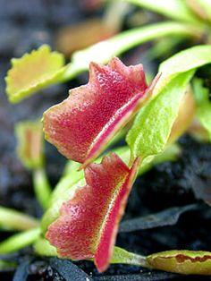 Dionaea - Venus flytrap Insect Eating Plants, Plante Carnivore, Terrarium, Colorful Plants, Carnivorous Plants, Botanical Prints, Venus Flytrap, Fly Traps, Jurassic Park