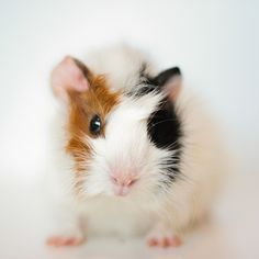 Milla, Guinea pig by astakatrin,