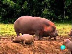 El hipopótamo/Documental