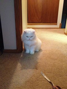 Shashu Pretty Kitty, Pretty Cats, Persian, Animals, Beautiful Cats, Animales, Animaux, Persian People, Persian Cats