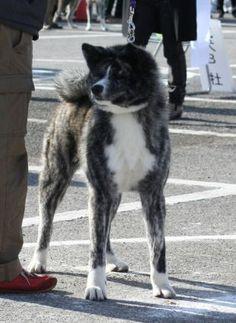 KOUJUSOU Inu, Akita, Dogs, Animals, Animales, Animaux, Pet Dogs, Doggies, Animal