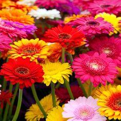 På borden: Gerbera, i olika färger