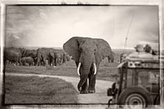 """Come on safari with Capture Africa Tours and we can guarantee you will see elephants like this.....they may even challenge you to a """"game of chicken."""""""