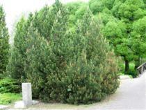 Vuorimänty - Pinus mugo