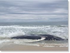 Dead whale washes up on Southampton beach, New York