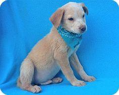 Burbank, CA - Labrador Retriever Mix. Meet Lamont, a puppy for adoption. http://www.adoptapet.com/pet/16718217-burbank-california-labrador-retriever-mix