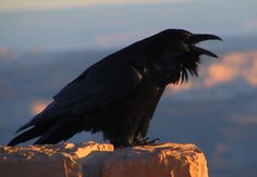 Ravens are often messengers of gods in many cultural mythologies.