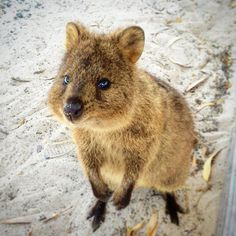 Don't be fooled by this cute and furry little Rottnest Island Quokka. He does not want a cuddle - he just wants your lunch! #boyleroyaltour #rottnestisland #lovemyrotto #perth #perthisok #perthlife #westernaustralia #thisiswa #amazing_wa #travel #traveltip #travelblog #travelwithkids #australia #AustralianLife #seeaustralia #visitaustralia #quokka #wildlife #nature by carlaboyle http://ift.tt/1L5GqLp