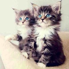 Maine coon kittens #gatito #kitten #gato http://www.mainecoonguide.com/male-vs-female-maine-coons/
