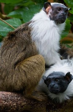 Pied Tamarin, Saguinus bicolor, an endangered New World monkey of the Brazilian Amazon rainforest
