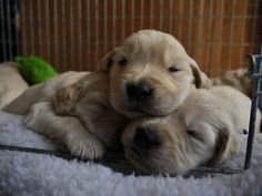 Golden Puppies by Chris Barry on 500px