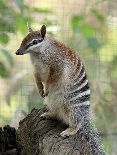 Fourteen numbats born in captivity at Perth Zoo have been released into the wild in Western Australia. (Image: SJ Bennett/Flickr Creative Commons)