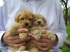 baby goldendoodles!!!! i want one.