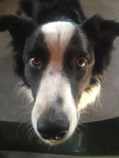 PADDY.......YOU VILL VALK ME NOW!!!! WITH EYES LIKE THAT, HOW COULD YOU SAY NO? dogsbigdayout.com.au