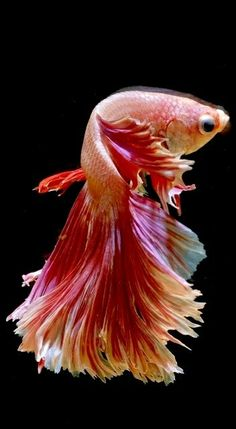 If you want to know how to take care of Betta fish, this article will help you get started and get rid of some of the most common misconceptions that people have about these fish. Betta Fish Tank, Beta Fish, Fish Tanks, Pretty Fish, Beautiful Fish, Colorful Fish, Tropical Fish, Saltwater Tank, Saltwater Aquarium