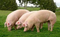 El desarrollo de estos cerdos es otra prueba del poder de la tecnología de edición genética, que está llevando a la industria de la biotecnología a un éxito rotundo. Londres – Una firma británica de genética animal, que trabaja con científicos estado