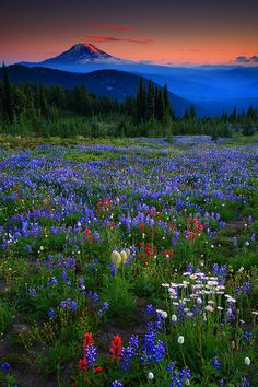 Sunset Wildflowers and Mt Adams From Snowgrass Flats in The Goat Rocks Wilderness Washington
