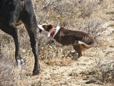 Border Collies/ Working Ranch Dogs