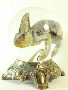Preserved Wet Specimen Chameleon in Glass by thecuriodditiescabin