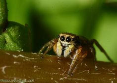 This miniature jumping spider is from the family Salticidae in the spider order Araneae.