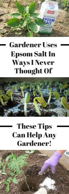 There are so many great uses for epsom salt in the garden! It can help with anything you're trying to grow, tomatoes, plants, vegetables, flowers, grass, and roses. These gardening tips can help beginners and advanced gardeners alike! #gardening #gardeningtips #gardeninghacks Growing Tomatoes Indoors, Growing Tomatoes In Containers, Growing Vegetables, Grow Tomatoes, Dried Tomatoes, Hydroponic Gardening, Hydroponics, Organic Gardening, Container Gardening
