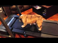 "Bulldog has Trouble Operating Treadmill From your friends at phoenix dog in home dog training""k9katelynn"" see more about Scottsdale dog training at k9katelynn.com! Pinterest with over 18,600 followers! Google plus with over 120,000 views! You tube with over 400 videos and 50,000 views!! Serving the valley for 11 plus years"