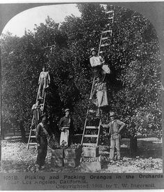Picking and packing oranges in the orchards, near Los Angeles, California. The date in the corner is 1905.