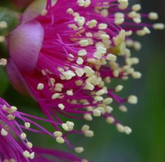 Callistemon by emmoff