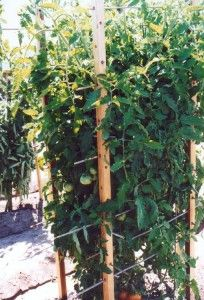 Pruning and staking tomato plants will ensure a healthier, more robust harvest.