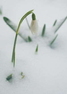 We just spotted the snowdrops in one of the few spots of bare (no snow) ground in our  yard today!....Finally!