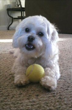 Shih Poo- Comet <3 Dog Training Courses, Brain Training, Dog With Braces, Dog Grooming Styles, Shih Poo, Mans Best Friend, Puppy Love, Cute Dogs, Wedding Photos