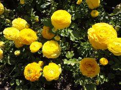 Dotterblumen Rose, Flowers, Plants, Pink, Plant, Roses, Royal Icing Flowers, Flower, Florals