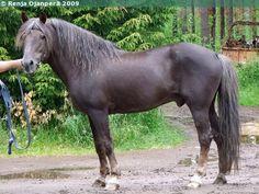 Finnhorse stallion Liptus