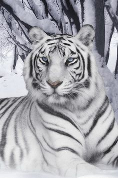 White Siberian Tiger; Very Striking.
